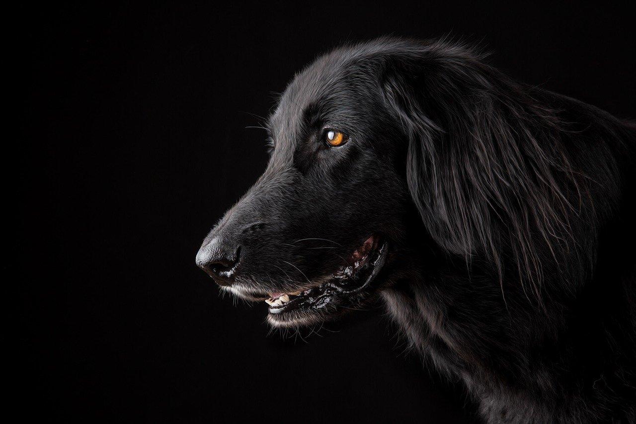 animal, dog, pet