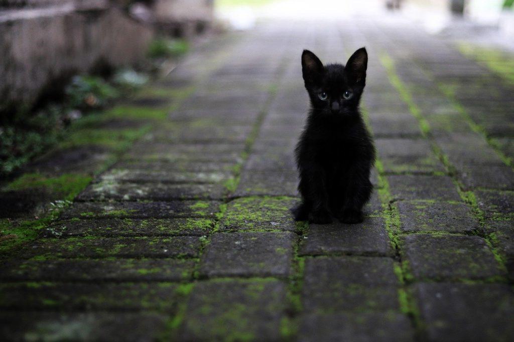cat, black, animals